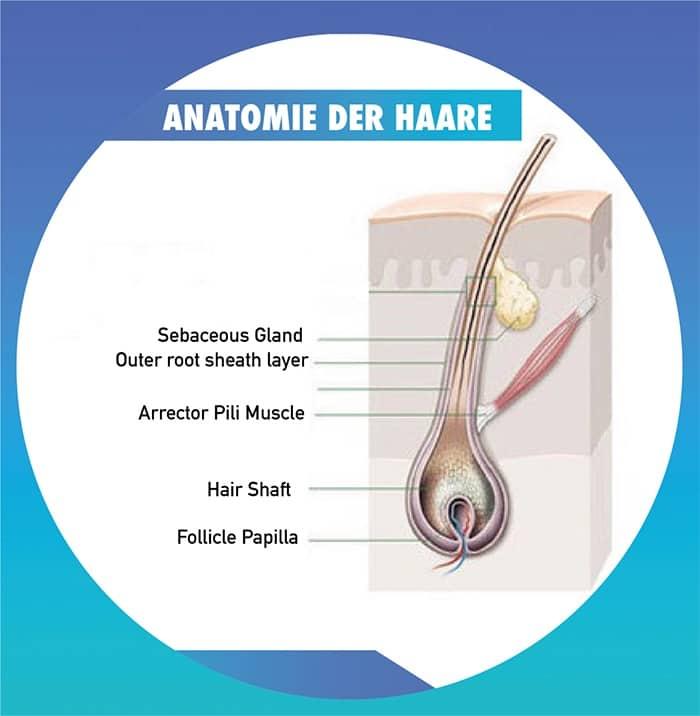 anatomie der haare