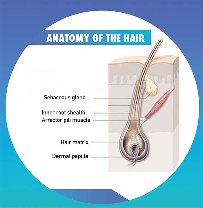 anatomy of the hair