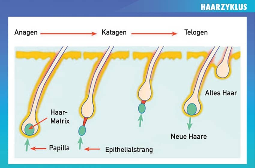 haarzyklus